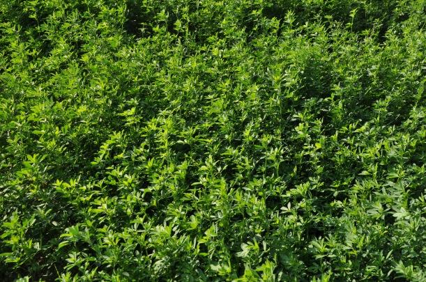 Farm Pictures 06 18 13 016 - Alfalfa