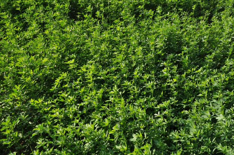 Farm Pictures 06 18 13 016 - Alfalfa