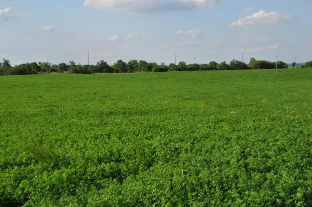 Farm Pictures 06 18 13 020 - Alfalfa
