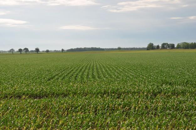Growing Corn 010