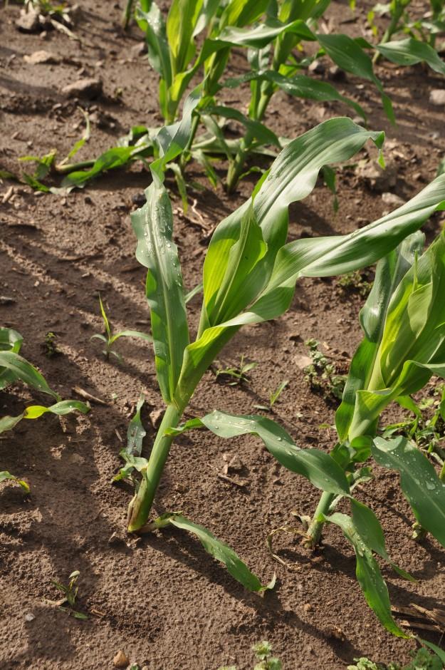Growing Corn 014