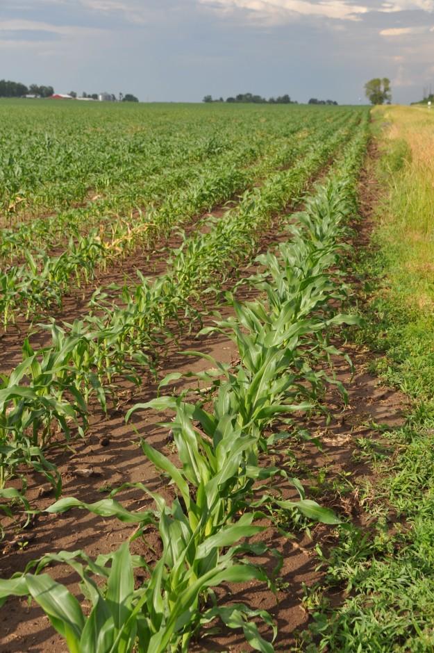 Growing Corn 015