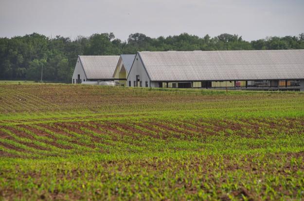 Growing Corn 035