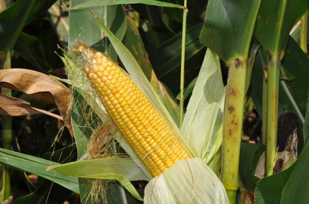 Harvest 2013 123