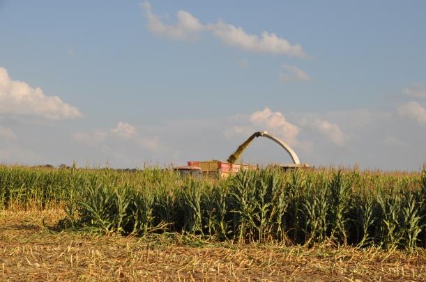 Harvest 2013 - Chopping 005