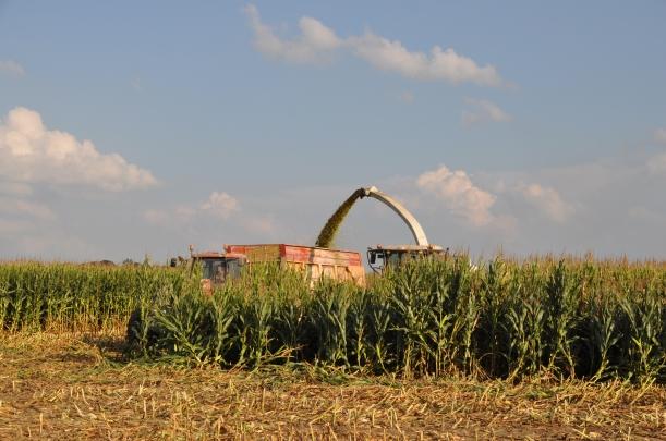Harvest 2013 - Chopping 006